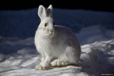 заяц беля - животные ямала