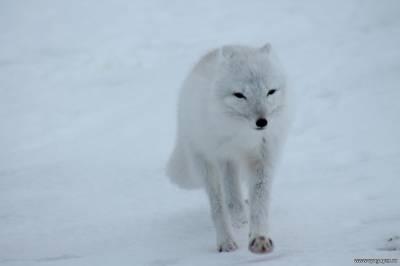 полярный песец
