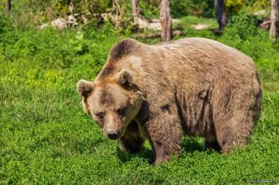 бурый медведь - животные ямала