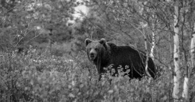медведи в тайге